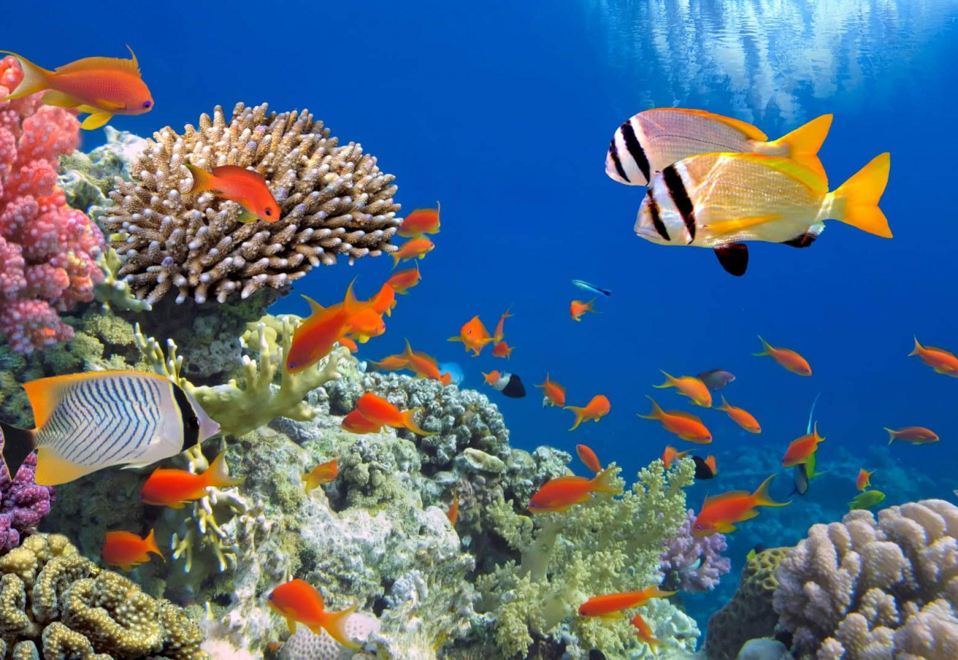 Poisson - corail