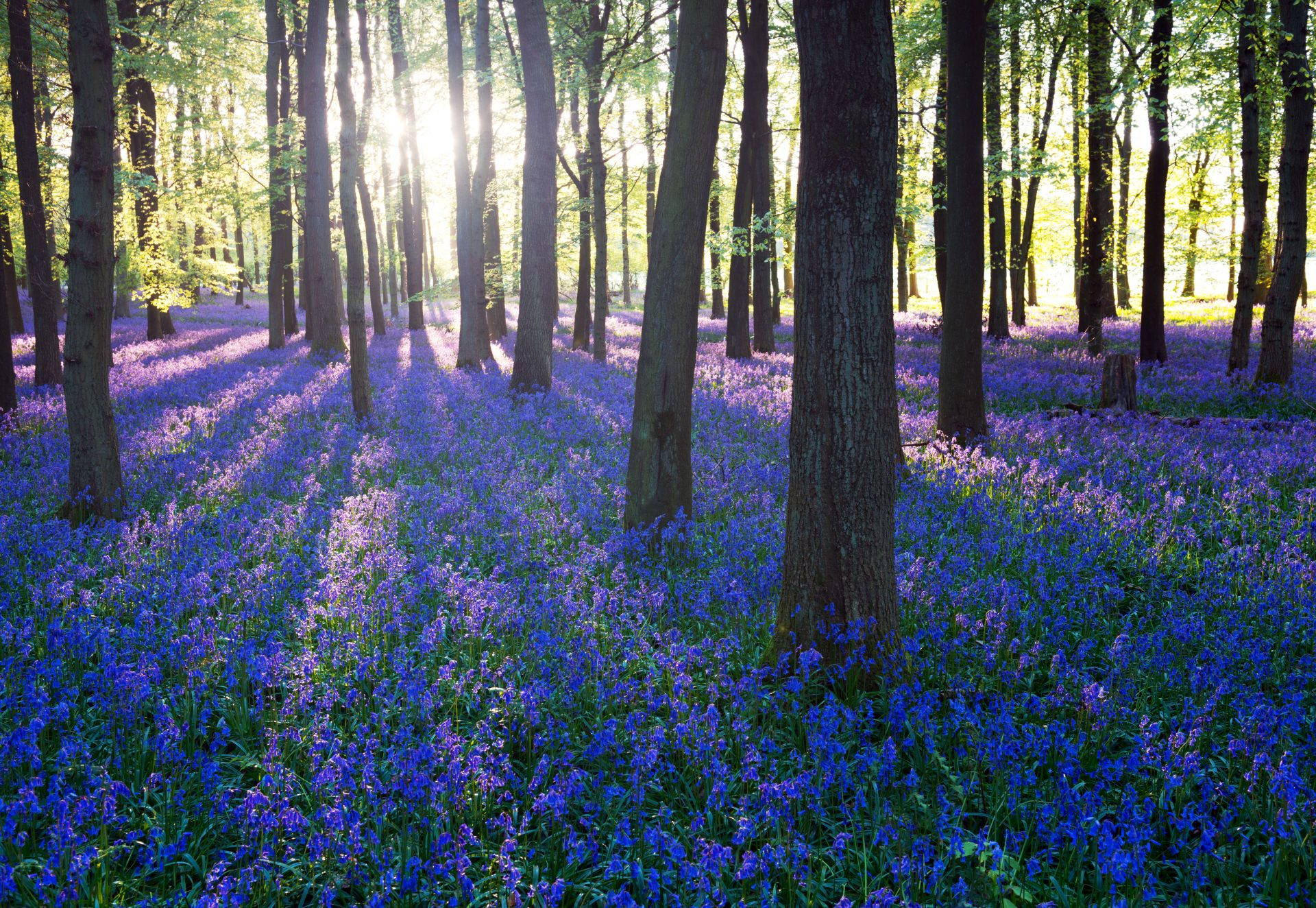 Purple,Bluebell,Woods,In,Early,Morning,Sunrise
